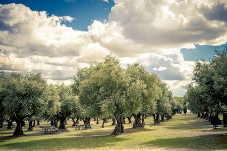 plantation d'oliviers dans le parc pour les activités de loisirs avec ciel nuageux