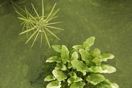 background with green floater plant emerging from a pond Stockfoto