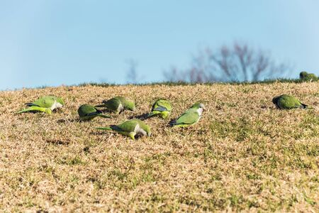 group of green Monk Parakeet eating on the grass in a park