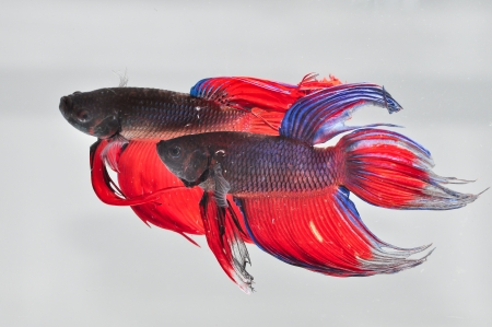 Fighting fish Stock Photo - 22164143