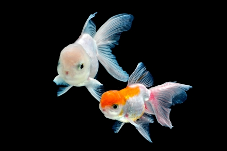 goldfish isolated on black background Stock Photo - 22859337
