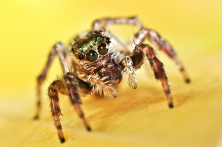 evarcha: Spider on a yellow background
