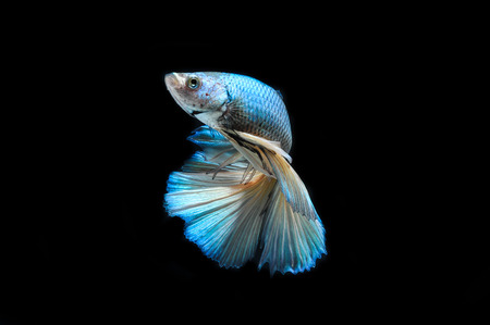 siamese fighting fish: fight fish