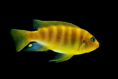 cichlid: Cichlid fish in aquarium
