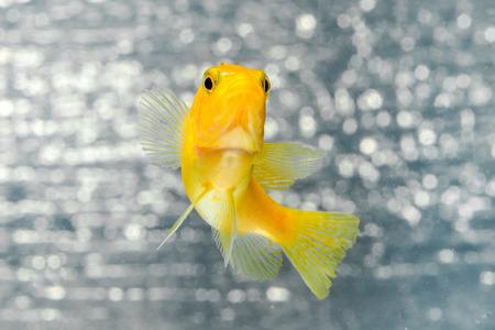 cichlid: Cichlid fish