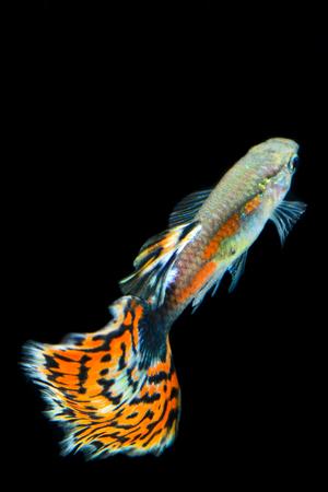 guppy fish: guppy fish