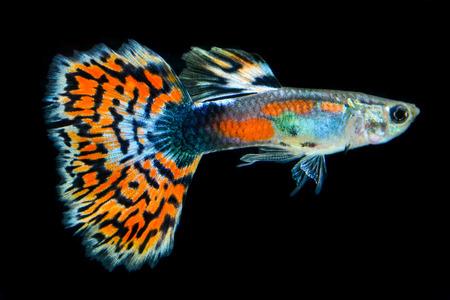 guppy: guppy fish