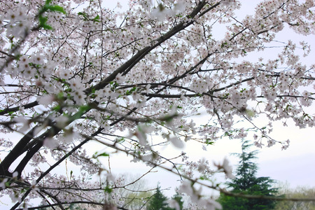 to bloom: Sakura of Japan in full bloom to bloom in spring Stock Photo