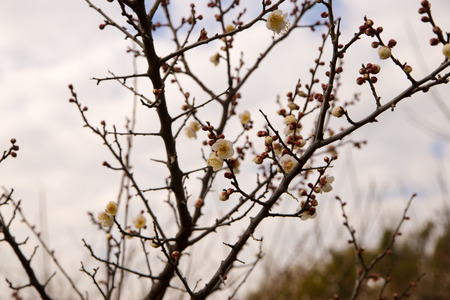 ume: Flowers of ume of blooming in Japan, early spring. Stock Photo