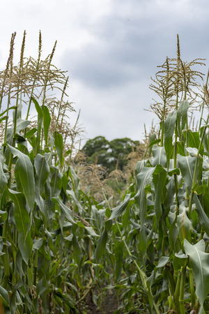 champ de maïs: Champ de blé Banque d'images