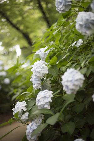 common blue: Hydrangea