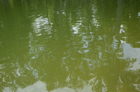 Blooming green water. Green algae polluted river. Sunny day