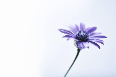 Blue single flower on white background.