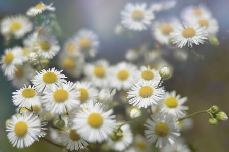 Chamomile flowers field wide background in sun light. Summer Daisies. Beautiful nature scene with blooming medical chamomilles. Alternative medicine. Camomile Spring flower background Beautiful meadow Banco de Imagens