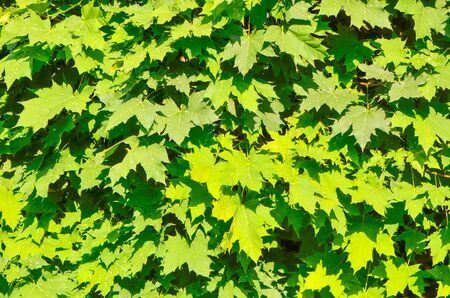 Spring leaf of maple. Composition of nature. Sun shine