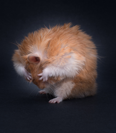 cute hamster: Hamster