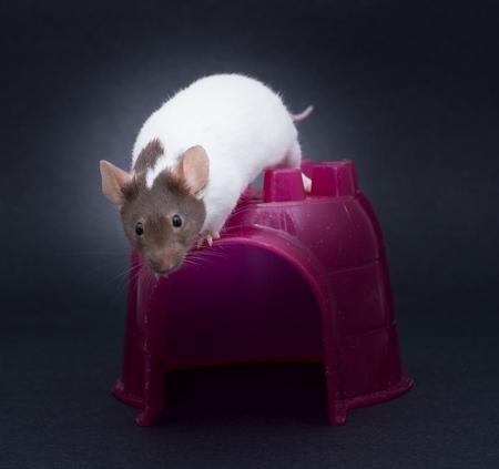norvegicus: Fancy Mouse