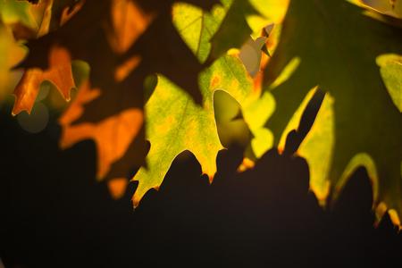 秋のもみじ葉