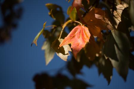 秋のカエデの葉と空