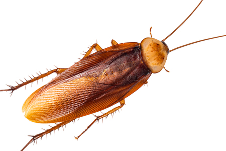 cockroach,isolated on white background