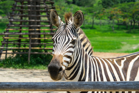 Closed up African Zebra on the field. Stock Photo