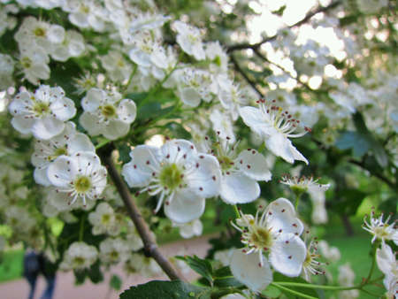 small flowers: Small flowers blooming on tree during spring.  Stock Photo