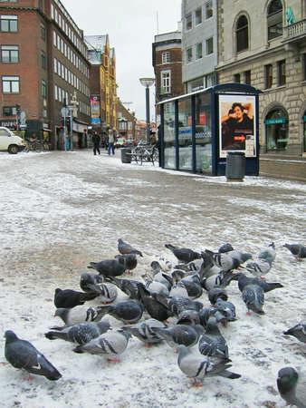 flocking: Pigeons flocking together on a European street in winter.