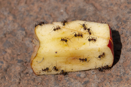 A Close up view of a cut red apple being eaten with big ants on a concrete driveway