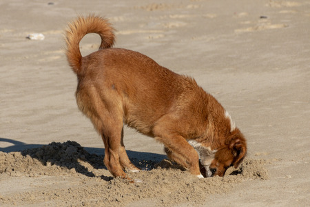 A close up side view of a ginger dog digging in the sand looking for crabs Stockfoto