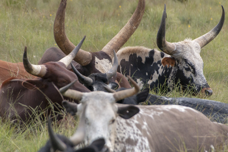 A close up view of a herd of big horned cows sitting together having a sleep