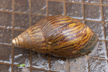 A close up view of the brown wet shell of a giant snail on a dark dirty brown metal grid