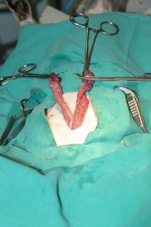 A close up view of a female dog being spayed and her uterus being clapmed off and then removed