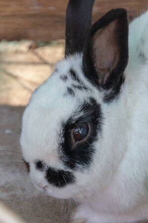 A close up view of a white rabbit with black markings on its face and ears Stok Fotoğraf