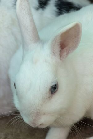 A close up view of a pure white rabbit