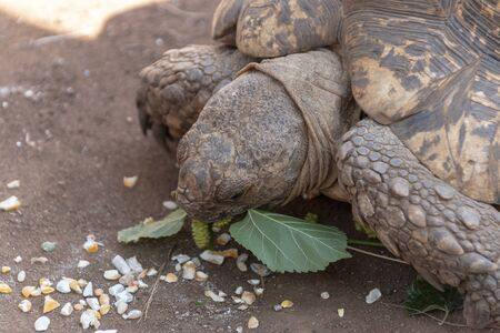 A close up view of a tortoise  being fead leaves and chicken feed