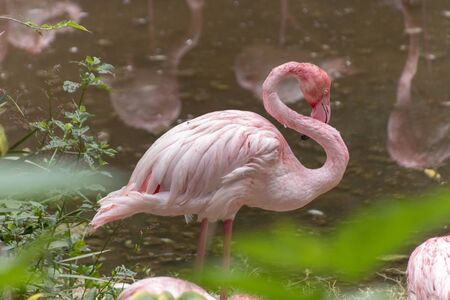 A close up view of a flamingo cleaning its beautiful pink feathers near a outdoor pond  Stok Fotoğraf