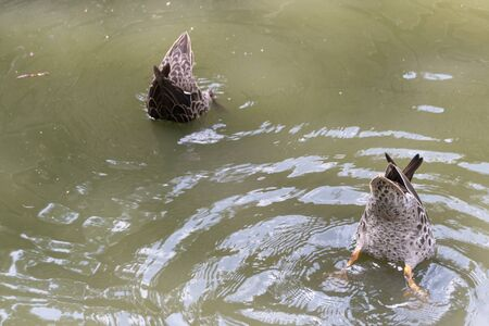 A close up view of two ducks with thier bums in the air diving for food under water