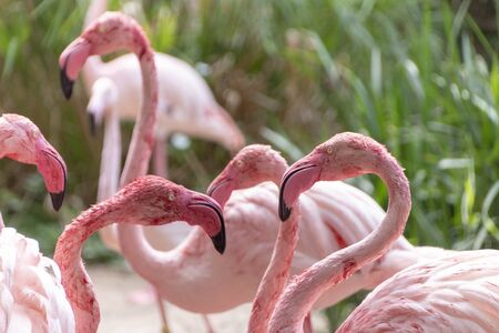 A group of flamingos cleaning thier feathers and drinking water