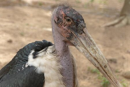 A close up view of a large maribou stork