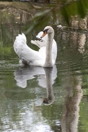 A close up view of a white swan swimming on a outdoor pond