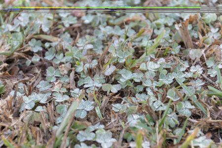 A close up view of clovers covered in dew on a early winters day