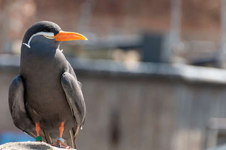 a close up view of a Inca tern sitting on a rock soaking up the sun
