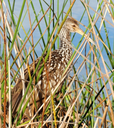 Limpkin camouflaged in the sawgrass Stock Photo