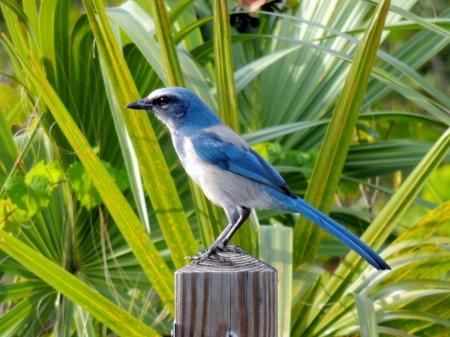 Endangered Florida Scrub Jay perched on post Фото со стока