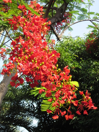 leguminosae: Flam-boyant or The flame tree or Royal poinciana or Peacock flower or Caesalpinia pulcherrima or Leguminosae flower.