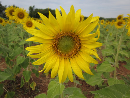 Sunflower blooming in Thailand.