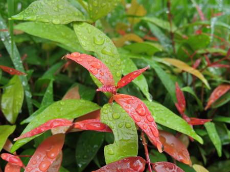 Rain drops on leaves.