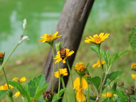 diligente: Bee está succionando néctar.
