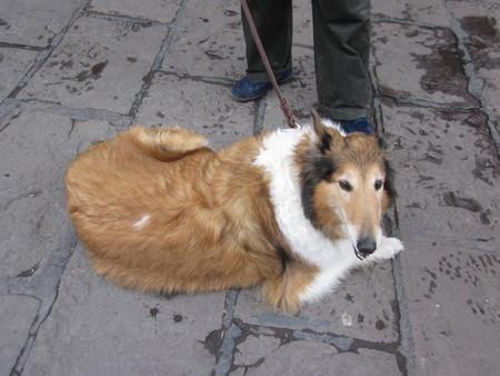 collie: Collie dog.