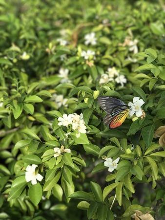 jessamine: Butterfly is sucking nectar of orange jessamine flower.